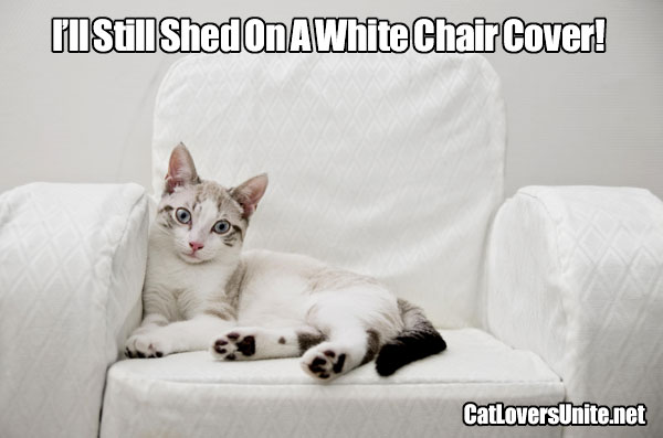 White Cats Still Shed on White Chairs