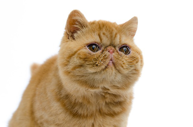 Photo of Exotic cat breed