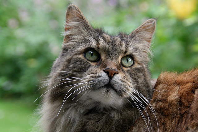 Photo of Maine Coon cat