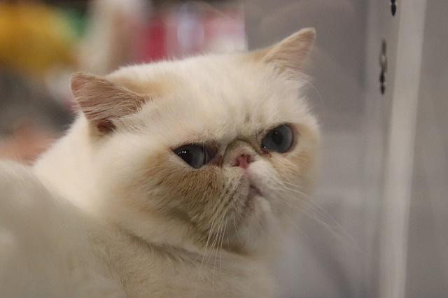 Photo of Persian cat