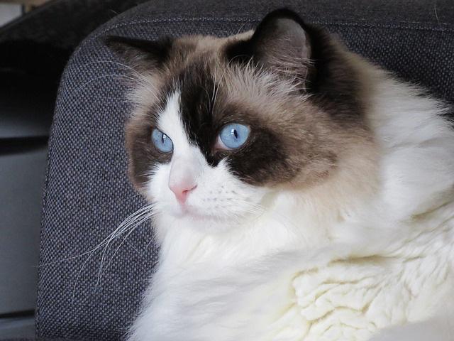 Photo Ragdoll cat